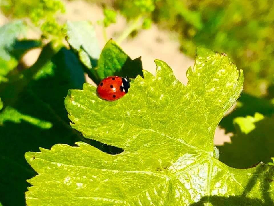 photo de vignes bio avec une coccinelle